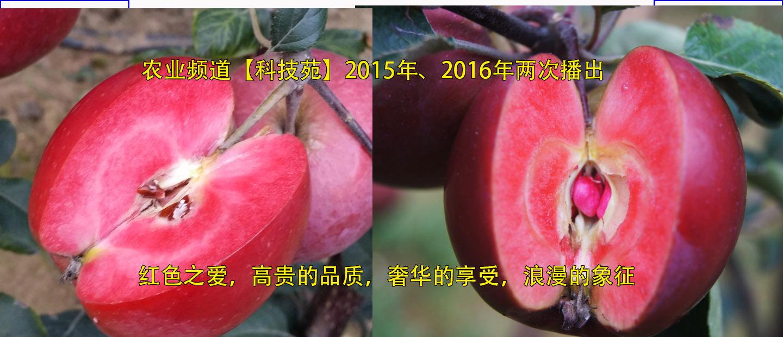 红色之爱2016年开花