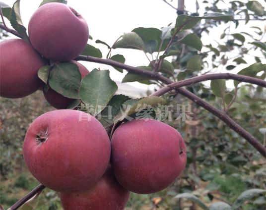 红肉苹果-红色之爱加工品种果实成熟外观紫红色