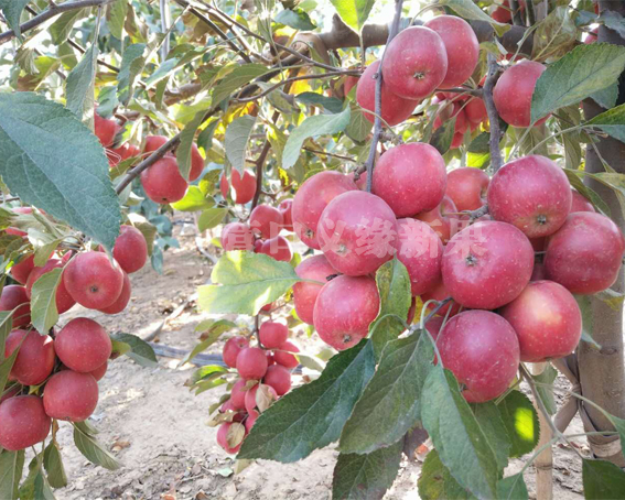 乙女苹果成熟