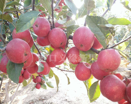 乙女苹果结果状