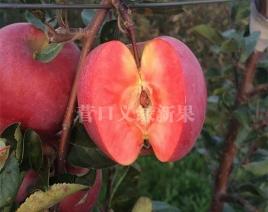 红肉苹果-红色之爱加工品种果实成熟