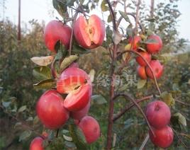 红肉苹果-红色之爱加工品种两年生树结果