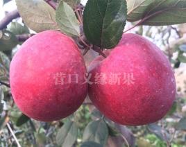 红肉苹果-红色之爱119/06
