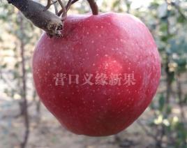 红肉苹果-红色之爱119/06果实成熟状