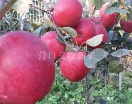 红肉苹果-红色之爱119/06丰产期结果状