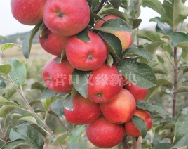 蜜冠苹果成熟状