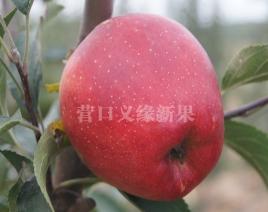 河北蜜冠苹果