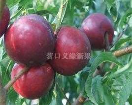 紫玉油桃成熟