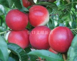 紫玉油桃临近成熟期