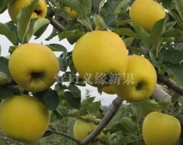 河北黄金苹果