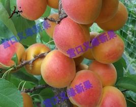 河北沙金红杏成熟