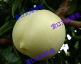 绿衣油桃-未成熟状