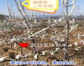 蜜桔李二年生树花期